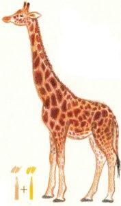 как нарисовать жирафа карандашом поэтапно