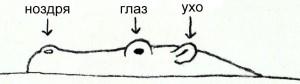 как нарисовать бегимота