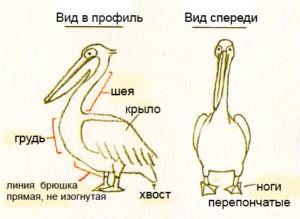 как нарисовать пеликана карандашом