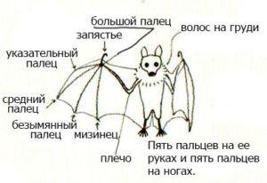 Как нарисовать летучею мышь